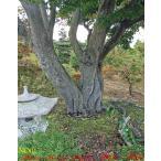 植木北海道産山紅葉(ヤマモミジ)の巨木NO1