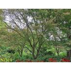 植木 山紅葉(ヤマモミジ)NO14