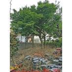 植木 山紅葉(ヤマモミジ)NO01