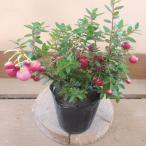 デコベリー 真珠の木 赤実