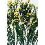 【プリザーブドフラワー・プリザーブド 花材】 1束(約45g) 約30-40cmL *自然の生花や植...