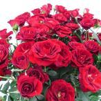 【北海道発送不可】【 ニュードーンルージュ 】 大苗 4号ポット つるバラ ローズピンク 薔薇 苗 米3【代引不可】