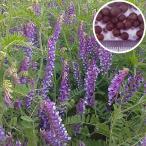 種 10kg 寒太郎 (サバン) ヘアリーベッチ 晩生 緑肥 ミツバチの蜜源に 雪印種苗 植物 米S 代引不可