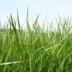 【種 2kg】 畦畔グリーン ベントグラス 芝生 種子 芝 寒高冷地用 [播種期:8〜9月] 雪印種苗 米3【代引不可】