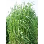 【種 4kg】 チモシー ヘリオス 中生 畑地 牧草 緑肥 [播種期:4〜10月] 雪印種苗 米S【代引不可】