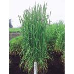 【種 5kg】 チモシー シリウス 晩成 畑地 牧草 緑肥 [播種期:4〜10月] 雪印種苗 米S【代引不可】