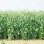 種 10kg エンバク ニューオールマイティ 中生 酪農 畜産 緑肥 [播種期:2〜11月] えん麦 雪印種苗 米S 代引不可