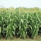 種 6kg ソルガム ハイグレンソルゴー 中早生 酪農 畜産 緑肥 [播種期:5〜8月] 雪印種苗 米S 代引不可