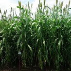 種 5kg ソルガム シュガーグレイズ 早生 酪農 畜産 緑肥 [播種期:4〜8月] 雪印種苗 米S 代引不可
