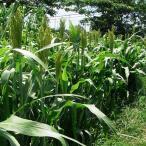 種 7kg ソルガム 短尺ソルゴー 早中生 酪農 畜産 緑肥 [播種期:5〜8月] 雪印種苗 米S 代引不可