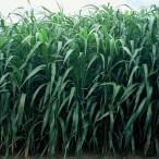 種 7kg ソルガム グリーンソルゴー (スーパーダン) 畑作 園芸 緑肥 [播種期:5〜8月] 雪印種苗 米S 代引不可