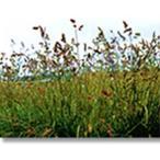 芝 草 種 オーチャードグラス コロニアルベントグラス類 種 1kg 種のみの販売 侵食防止 緑化 法面 種子 紅大 共B 代引不可 個人宅配送不可