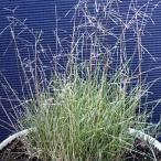 芝 草 種 アルカリドグラス コロニアルベントグラス類 種 1kg 種のみの販売 侵食防止 緑化 法面 種子 紅大 共B 代引不可 個人宅配送不可