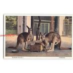 Xv3979東京 おほかんがるー 上野恩賜公園動物園【絵葉書