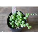 多肉植物 セネシオ グリーンネックレス