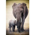 象の親子 ポスター/フレーム付 Elephant and Baby