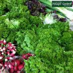 野菜 苗 ロロビオンタ レタス(種類 栽培 ハーブガーデン ハーブティー 花 ガーデニング 栽培キット)