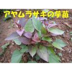 好評発売中◆朝採りサツマイモ苗◆ アヤムラサキ さつまいも苗 10本 切り苗