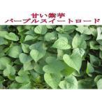 好評発売中◆朝採りサツマイモ芋◆ パープルスイートロード さつまいも苗 10本 切り苗