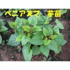 好評発売中◆朝採りサツマイモ苗◆ ベニアズマ さつまいも苗 10本 切り苗