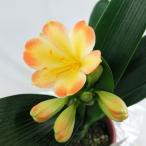 先紅君子蘭 光咲 アリサ 5号鉢  入荷時つぼみ付  黄色系クンシラン 新品種 特価