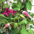 四季咲きクレマチス プリンセスダイアナ 5号鉢 つる性宿根草 在庫限りの特価