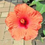 ハイビスカス ニュー ロングライフ 5号 ゼファー 鉢花 花苗 オレンジ色の新色
