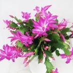 シャコバサボテン デンマークカクタス  5号鉢 ダークエバ サボテン 多肉植物 ピンク色の花