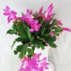 シャコバサボテン デンマークカクタス  5号鉢 エバ サボテン 多肉植物 ピンク花