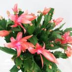 シャコバサボテン デンマークカクタス  5号鉢 スーパー・ケーニガー サボテン 多肉植物 オレンジ花