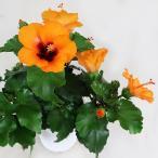 Yahoo!インテリアグリーンのポトスハイビスカス ニューロングライフ 5号鉢 プチオレンジ 在庫2鉢  鉢花 新商品