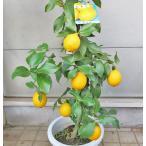 リスボンレモン れもん レモン 檸檬 8号鉢 接木苗  実付き苗 柑橘 果樹