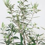 オリーブ(チプレシーノ)8号 苗木 果樹 シンボルツリー 庭木 開店祝い 在庫1鉢