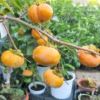 柿 次郎柿 甘柿 ジロウガキ カキ苗木 入荷時実付き 接木 果樹 在庫1鉢