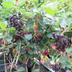 アロニア (チョコレートベリー)  チョークベリー アローニャ 5号 果樹