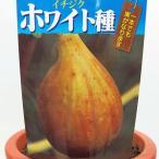 イチジク (ホワイト種) いちじく 6号在庫1鉢