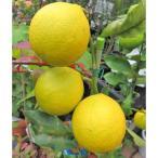 レモン (サイパンレモン) 6号 果樹 柑橘類 テニヤンレモン 菊池レモン 島レモン