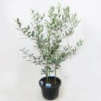 オリーブ 2品種植え ネバディロブランコとエルグレコ 7号 果樹