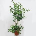 ストロベリーグアバ 8号鉢 実付き 熱帯果樹 苗木 観葉植物