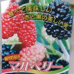 スイートマルベリー  苗木 果樹 桑の木 5号鉢