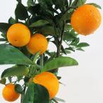 Yahoo!インテリアグリーンのポトスバレンシアオレンジ 柑橘 オレンジジ  果樹 苗木 30%引きセール 8号鉢 柑橘 在庫1鉢