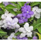 ニオイバンマツリ 匂い蕃茉莉 においばんまつり 5号 半額セール 花木 苗木 在庫1鉢