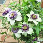 四季咲きクレマチス(ビエネッタ)6号 鉢植え あんどん仕立て 特価