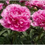 草花の苗 芍薬 シャクヤク しゃくやく 7号 ピオニー(華燭の典)かしょくのてん 入荷時つぼみ付 宿根草 在庫1鉢