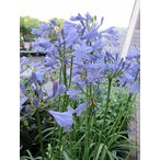 草花の苗 アガパンサス (姫アガパンサス)宿根草 5号鉢 紫色