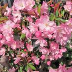 花カイドウ 花かいどう ハナカイドウ 花海棠 6号 苗木 庭木