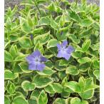 草花の苗 ツルニチニチソウ 3.5号ポット 青淡 4個1組 常緑多年草 グランドカバー