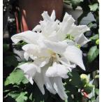 Yahoo!インテリアグリーンのポトスムクゲ 白乱(しろみだれ)むくげ 木槿 苗木 花木 8号鉢  在庫1鉢  30%引きセール 乱咲純白花系
