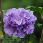 ムクゲ 木槿 むくげ 8号 シギョク 紫玉 八重咲き紫花系 苗木 花木