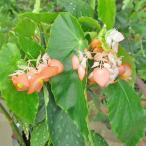 ベゴニア キダチベゴニア(木立性ベゴニア)5号 コダチベゴニア オレンジルブラ 鉢花
